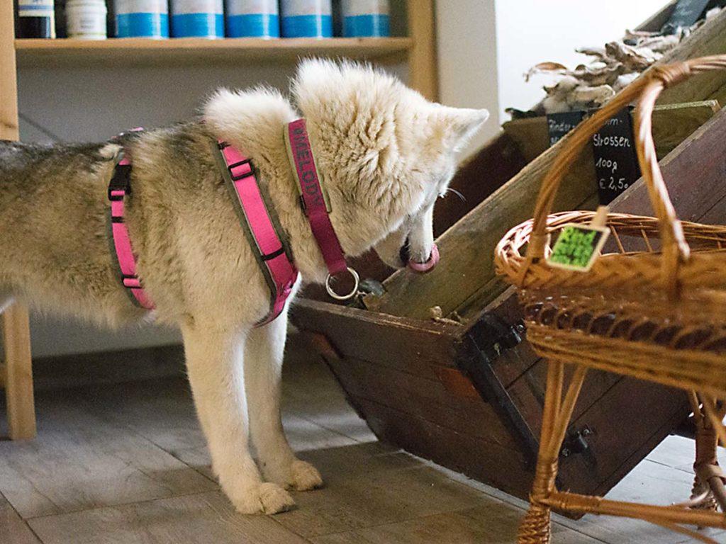 Hund gustiert Kauartikel